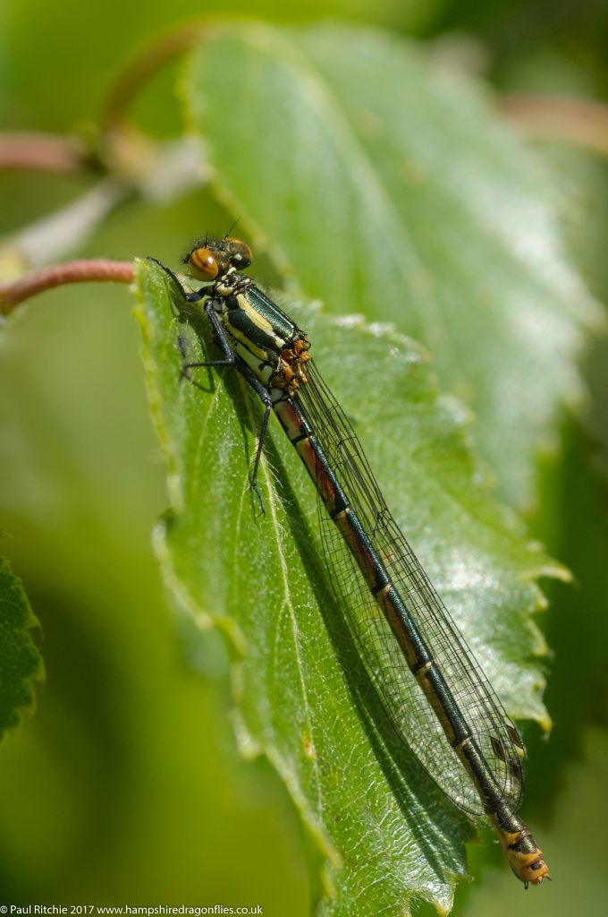 Large Red Damselfly (Pyrrhosoma nymphula) - female