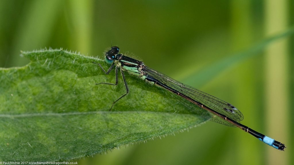 Blue-tailed Damselfly (Ischnura elegans) - male