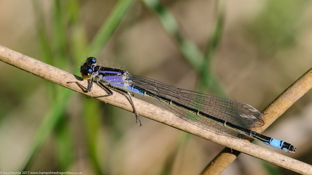 Blue-tailed damselfly (ischnura elegans) - immature female violacea form