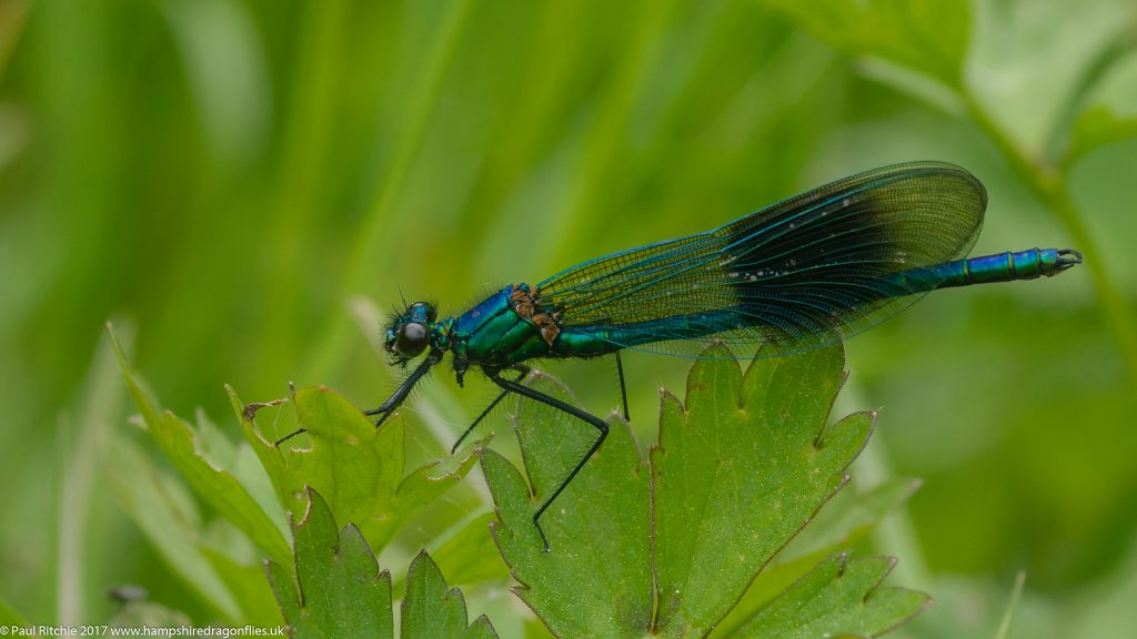 Banded Demoiselle (Calopteryx splendens) - male