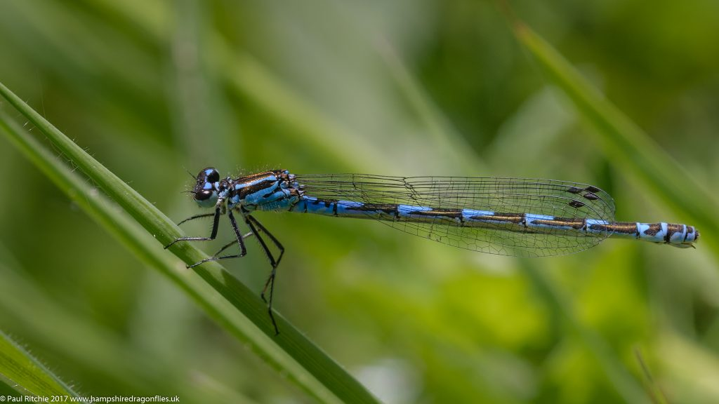 Variable Damselfly (Coenagrion pulchellum) - female
