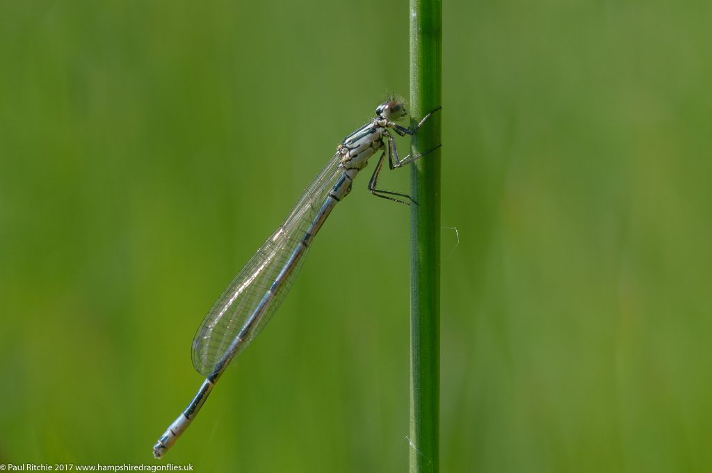 Azure Damselfly (Coenagrion puella) immature male