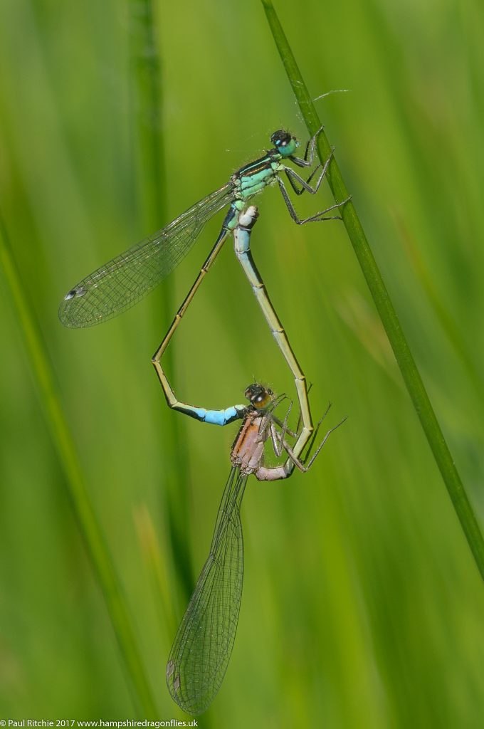 Blue-tailed Damselfly (Ischnura elegans) - pair in cop