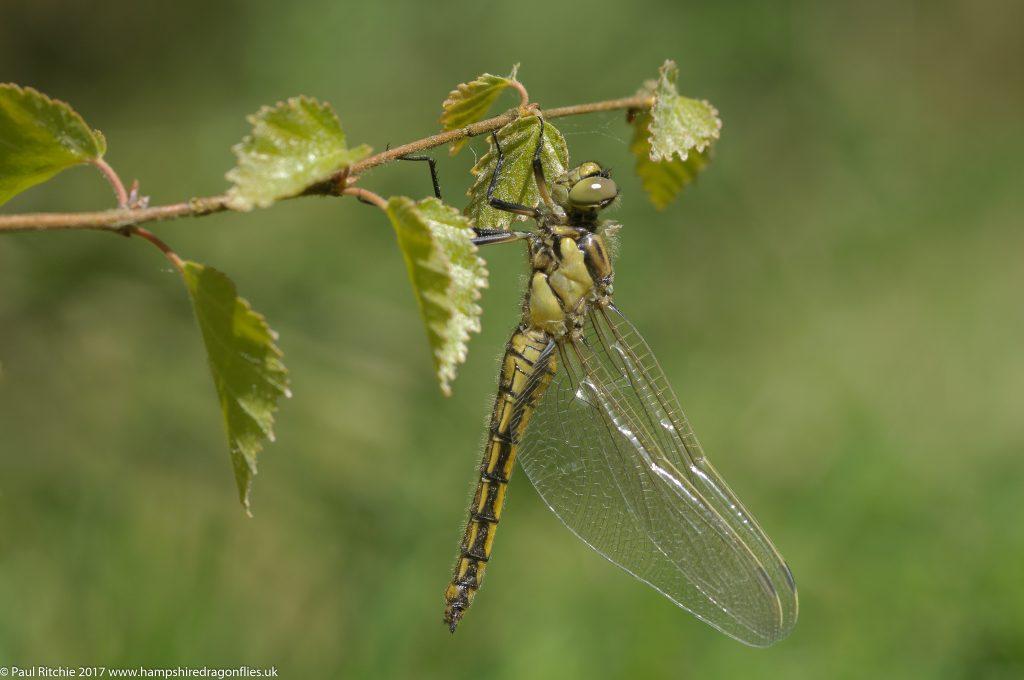 Black-tailed Skimmer (Orthetrum cancellatum) - immature female