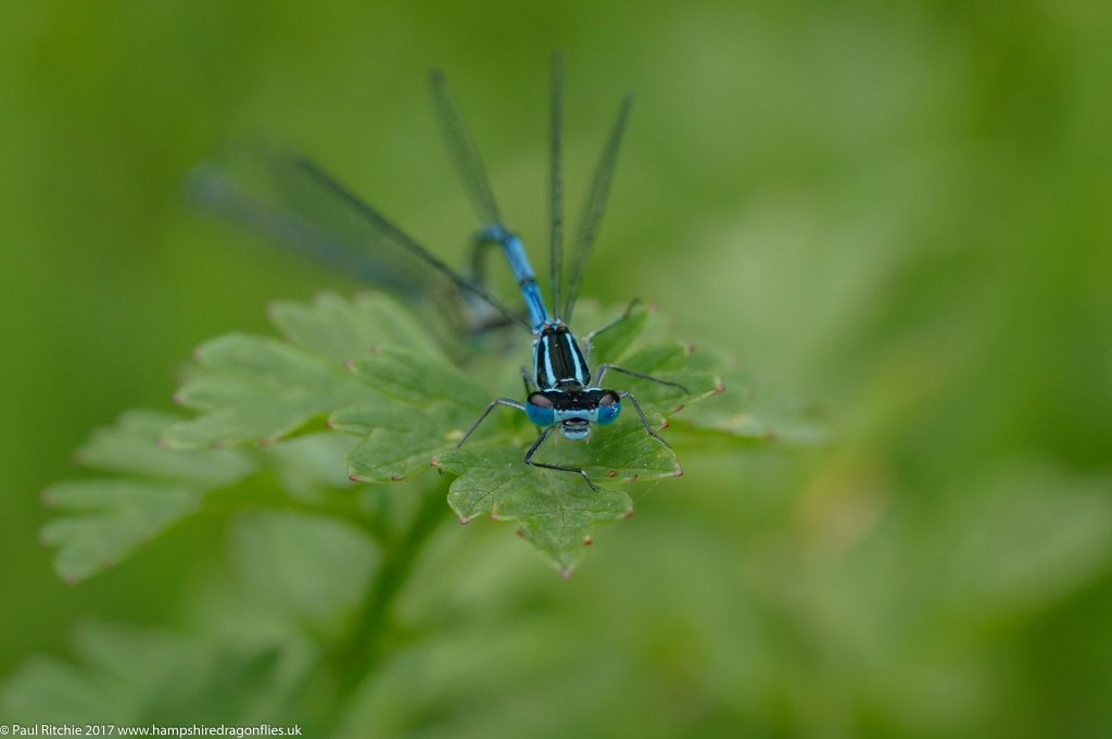 Azure Damselflies ((Coenagrion puella) - pair in tandem