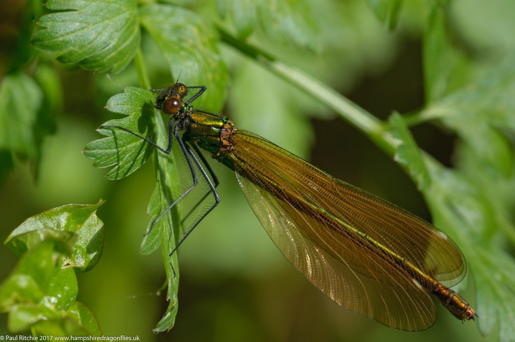 Beautiful Demoiselle(Calopteryx virgo) - female