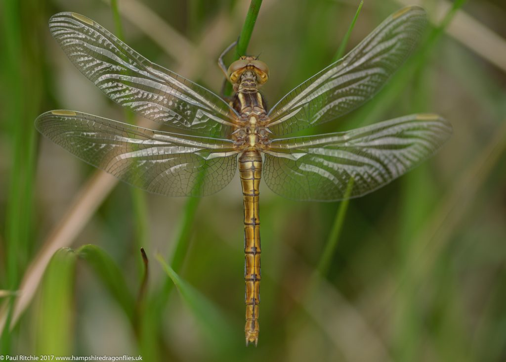 Keeled Skimmer (Orthetrum coerulescens) - teneral female