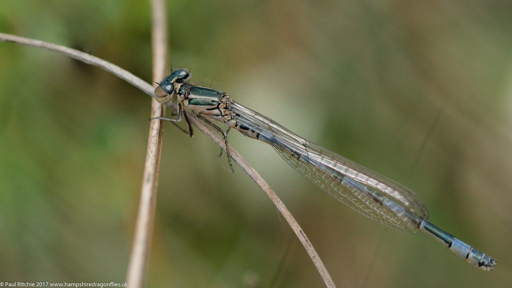 Southern Damselfly (Coenagrion mercuriale) - teneral male