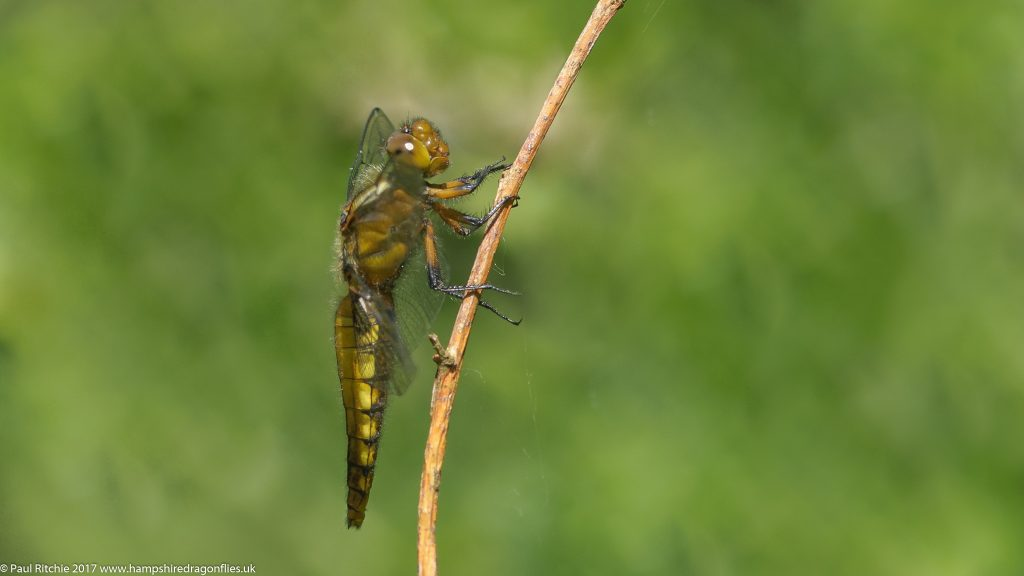 Broad-bodied Chaser (Libellula depressa) - immature female