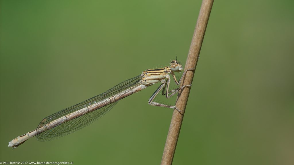White-legged Damselfly (Platycnemis pennipes) - immature female
