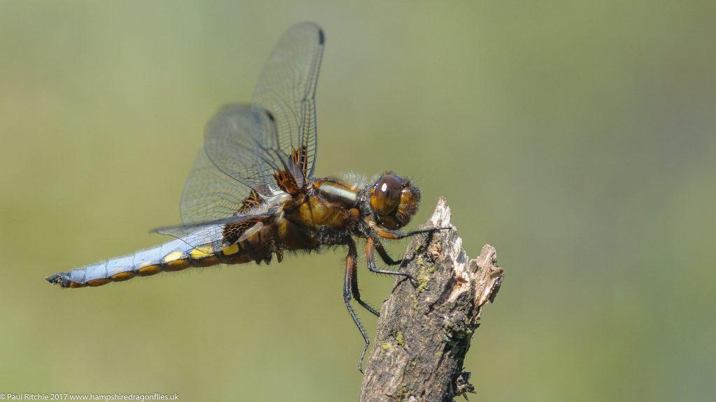 Broad-bodied Chaser (Libellula depressa) - male