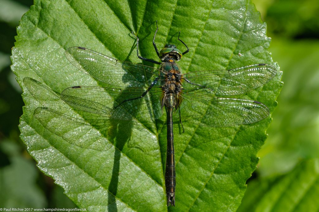 Downy Emerald (Cordulia aenea)- male