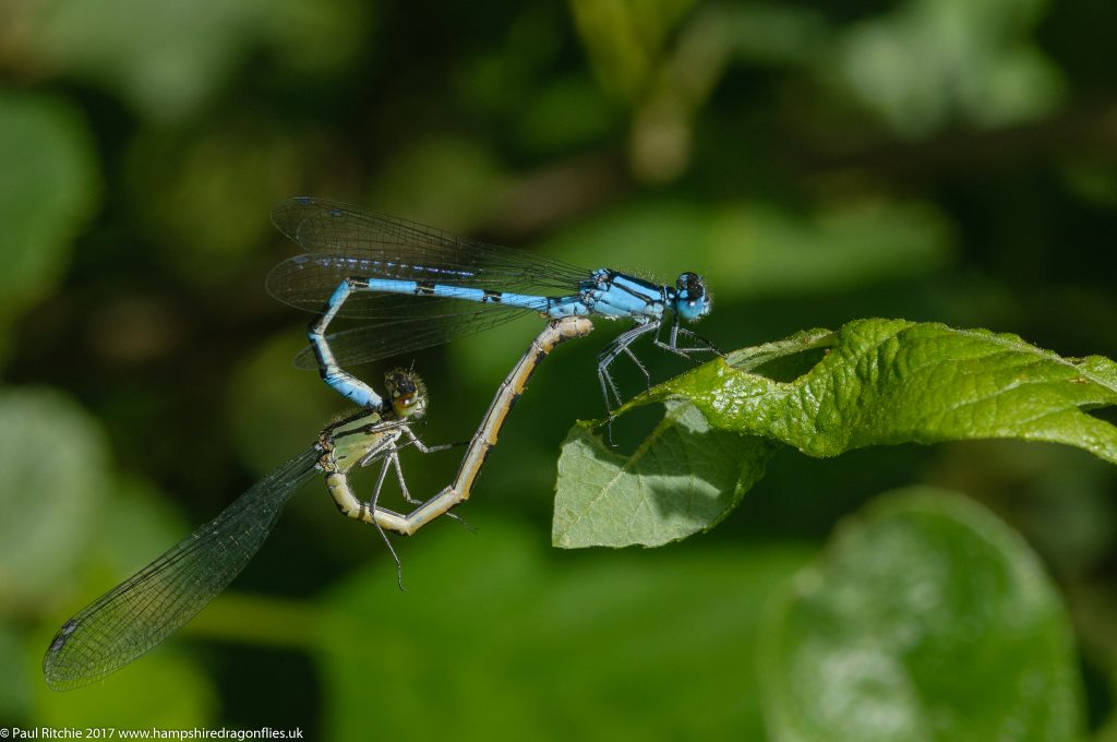 Common Blue Damselfly (Enallagma cyathigerum) - pair in cop