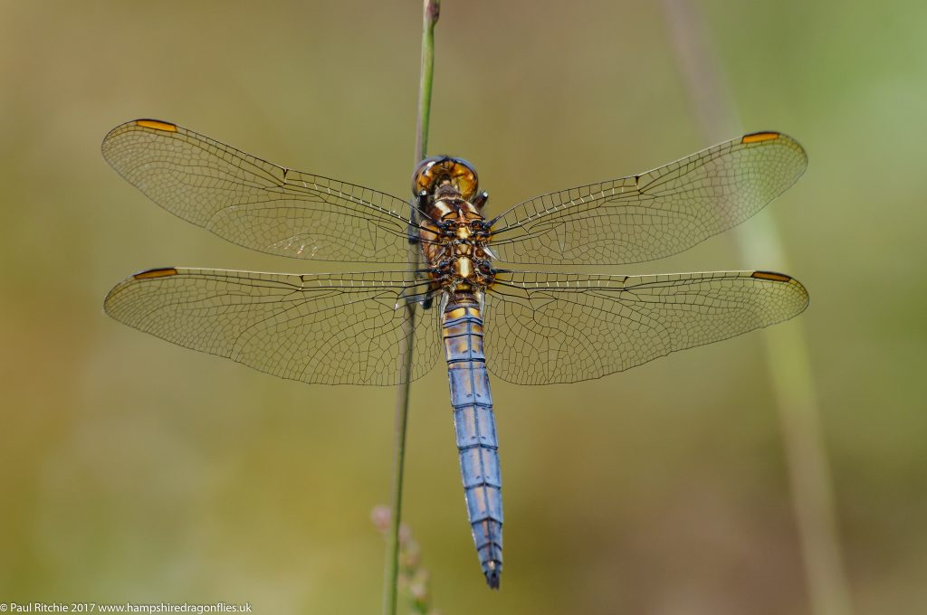 Keeled Skimmer (Orthetrum coerulescens) - pre-mature male