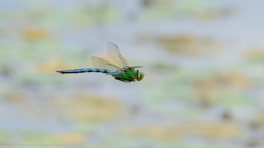 Emperor Dragonfly (Anax imperator) - male in-flight