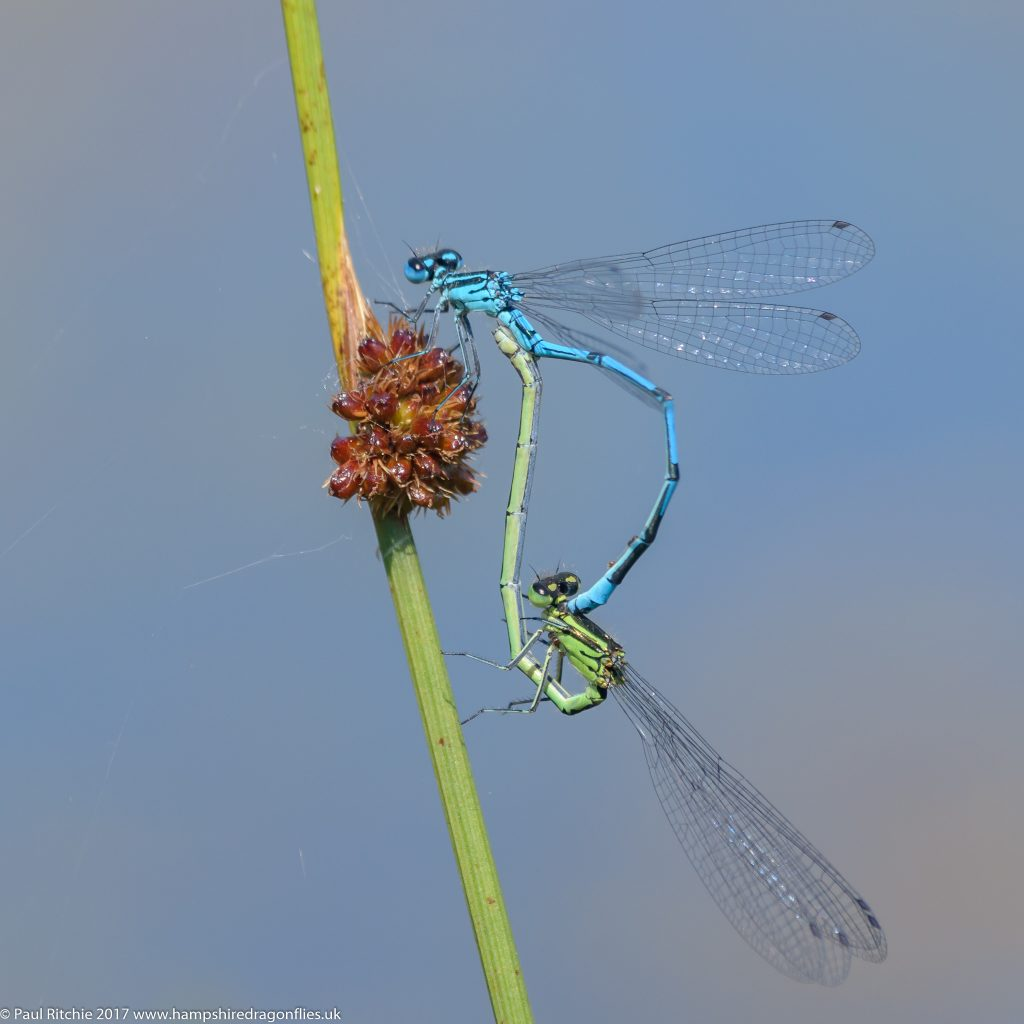 Azure Damselflies (Coenagrion puella) - pair in-cop