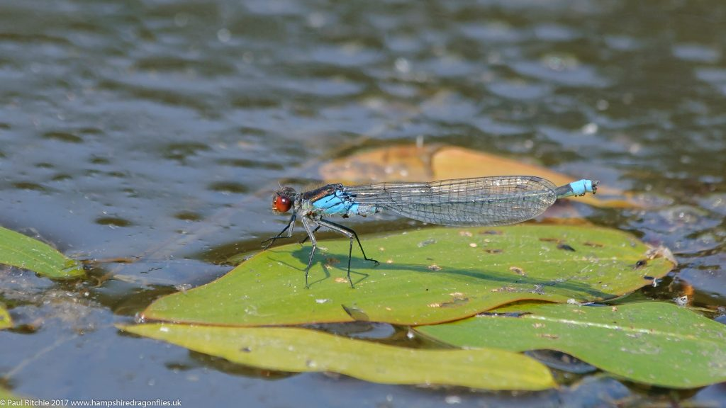 Red-eyed Damselfly (Erythromma najas) - male