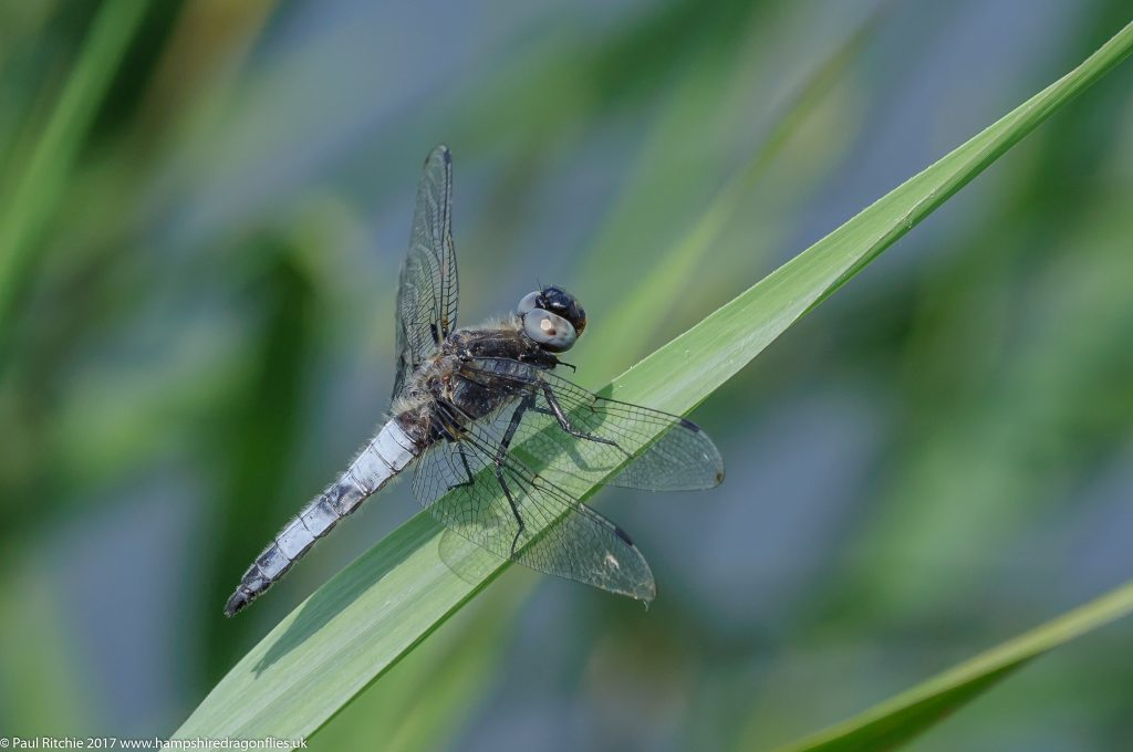 Scarce Chaser (Libellula fulva) - male
