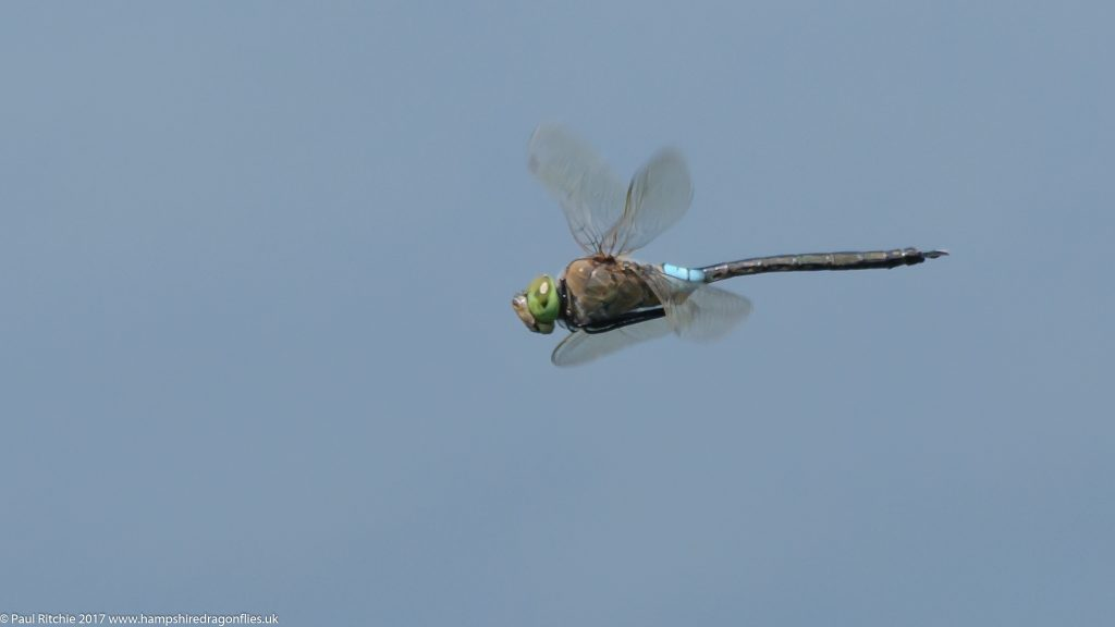 Lesser Emperor (Anax parthenope) - male in-flight