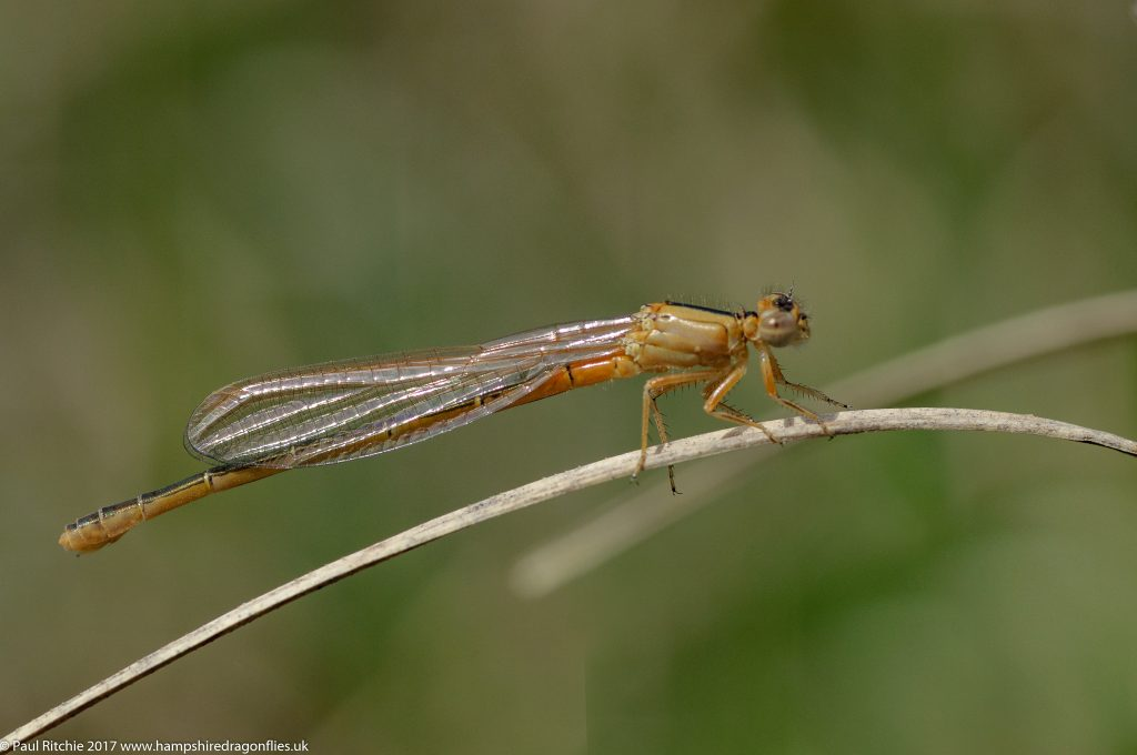 Scarce Blue-tailed Damselfly (Ischnura pumilio) - female immature pre-aurantiaca form