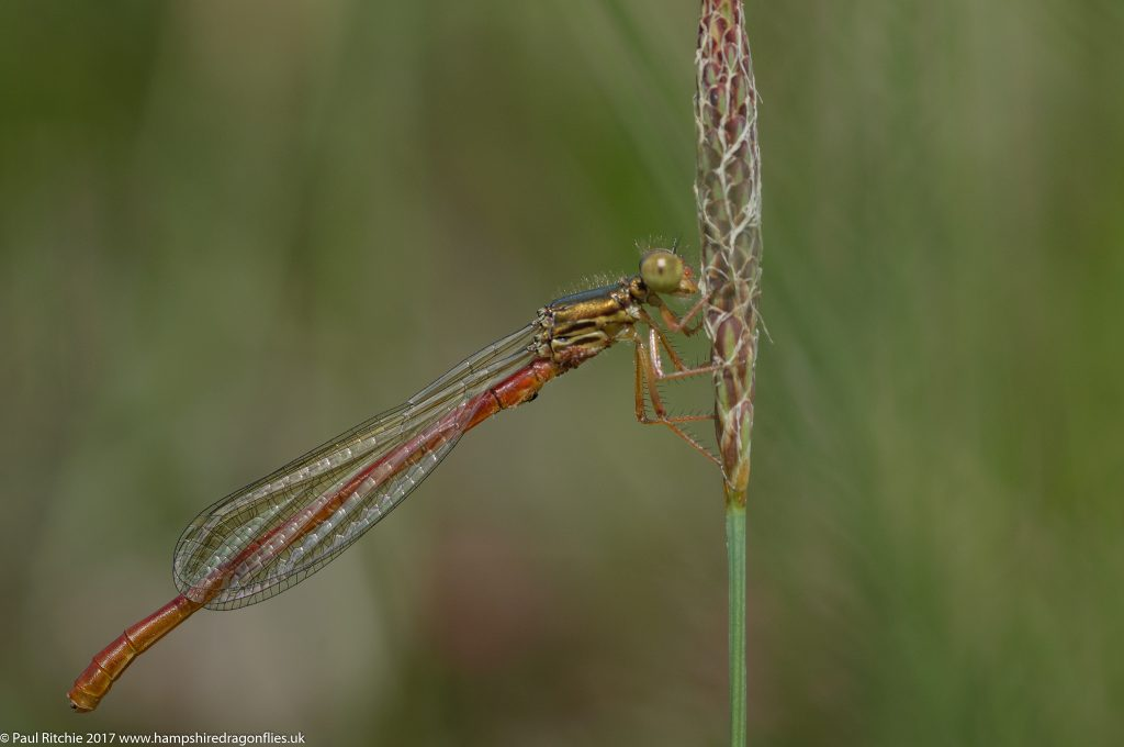 Small Red Damselfly (Ceriagrion tenellum) - female