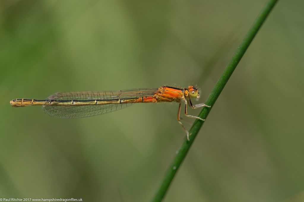 Scarce Blue-tailed Damselfly (Ischnura pumilio) - female immature aurantiaca form