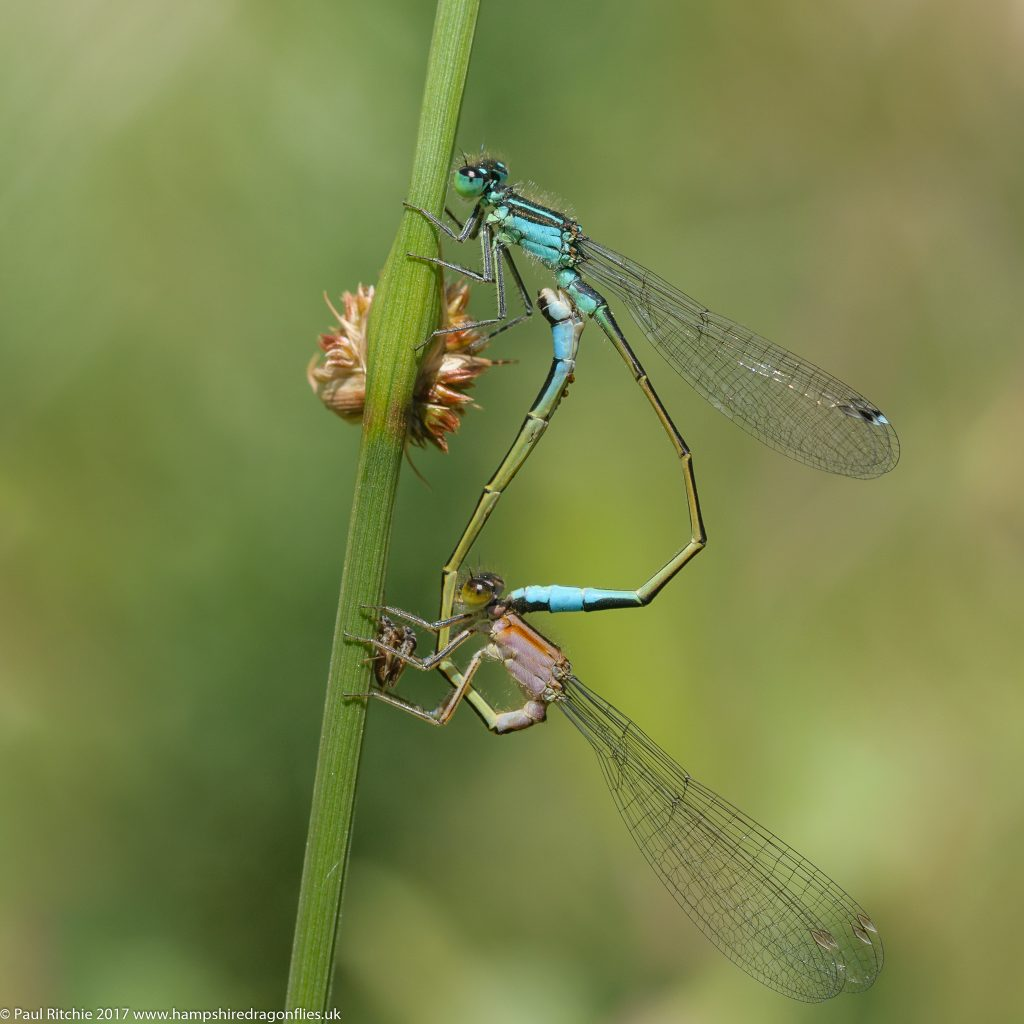 Blue-tailed Damselflies (Ischnura elegans) - pair in cop (fem. rufescens form)