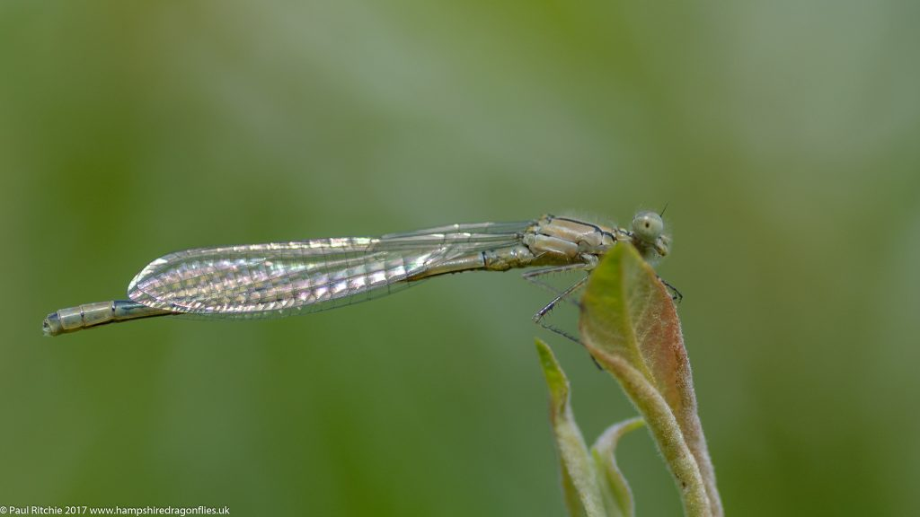Common Blue Damselfly (Enallagma cyathigerum) - teneral male