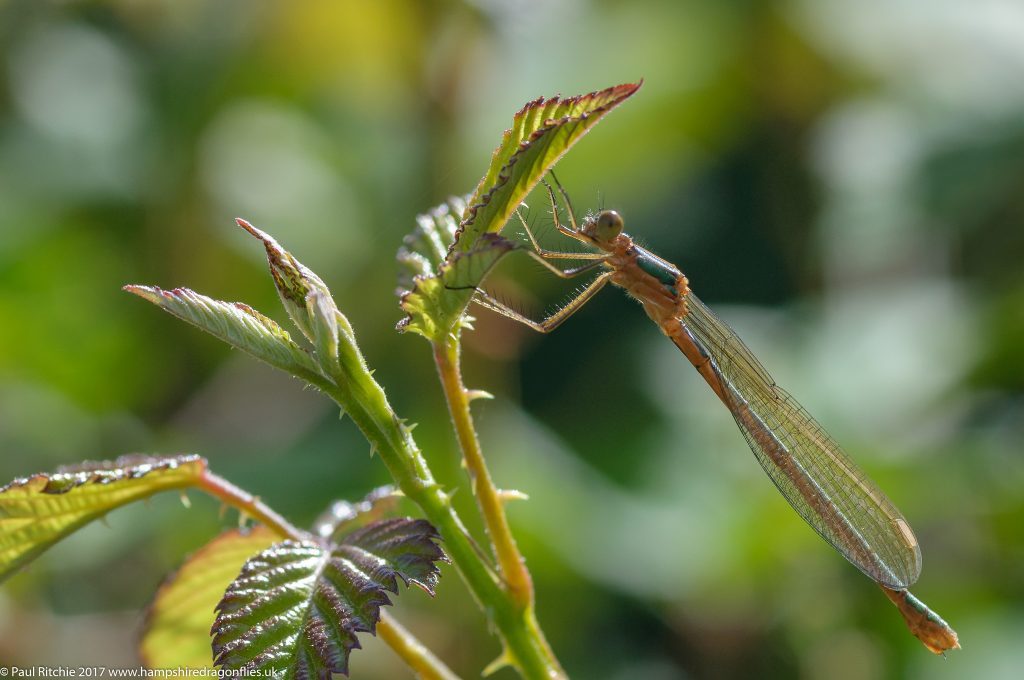 Emerald Damselfly (Lestes sponsa) - immature female