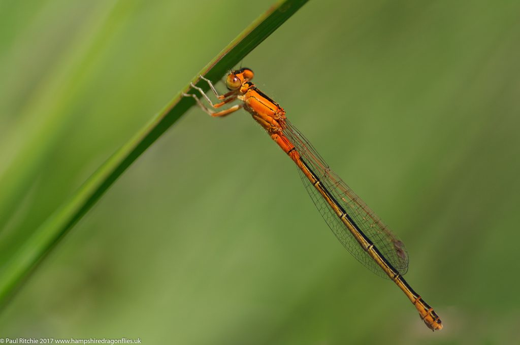 Scarce Blue-tailed Damselfly (Ischnura pumilio) - immature female aurantiaca form