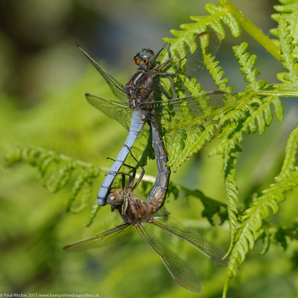Keeled Skimmers (Orthetrum coerulescens) - pair in-cop