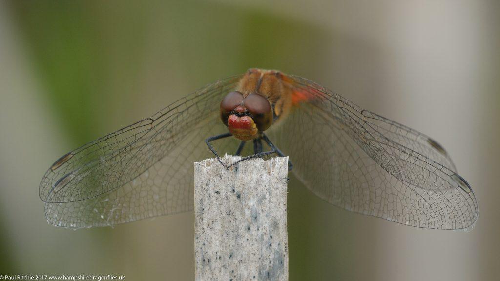 Ruddy Darter (Sympetrum sanguineum) - male