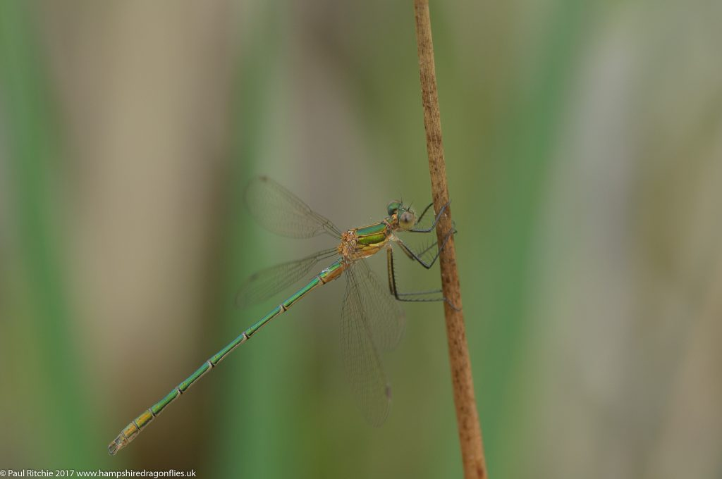 Emerald Damselfly (Lestes sponsa) - immature male