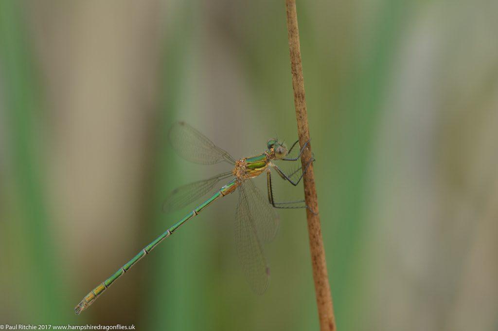 Emerald Damselfly (Lestes sponsa) - immature male
