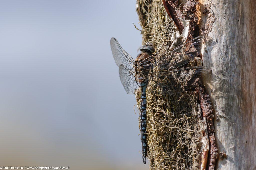 Azure Hawker (Aeshna caerulea) - male