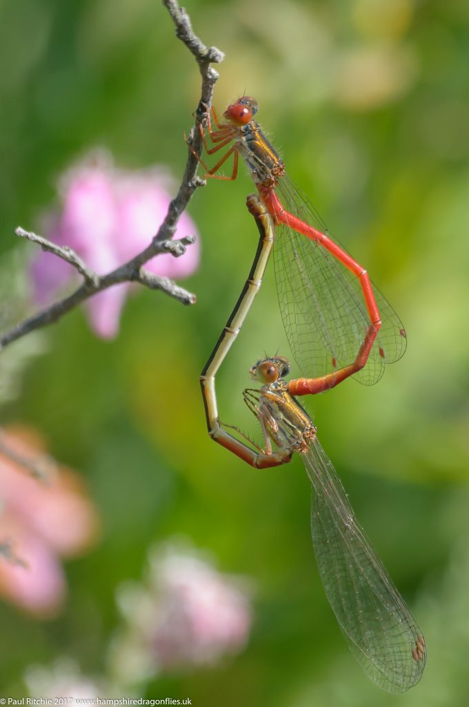 Small Red Damselfly (Ceriagrion tenellum) - pair in cop