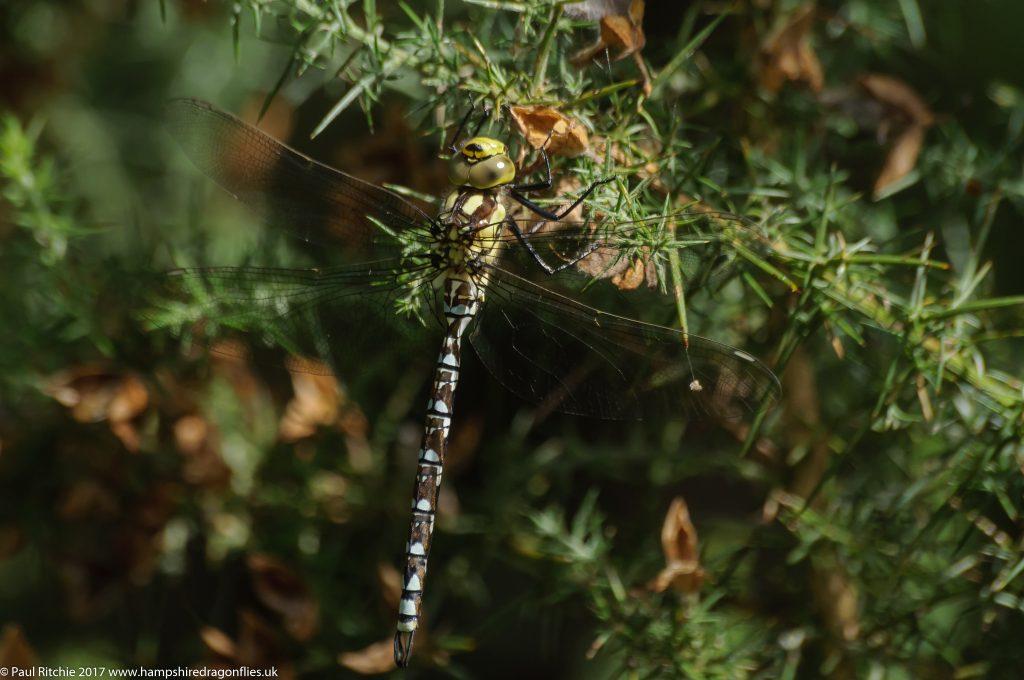 Southern Hawker (Aeshna cyanea) - immature male