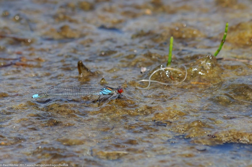 Small Red-eyed Damselfly (Erythromma viridulum) - male