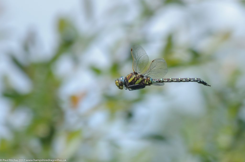 Moorland (Common( Hawker (Aeshna juncea) - male