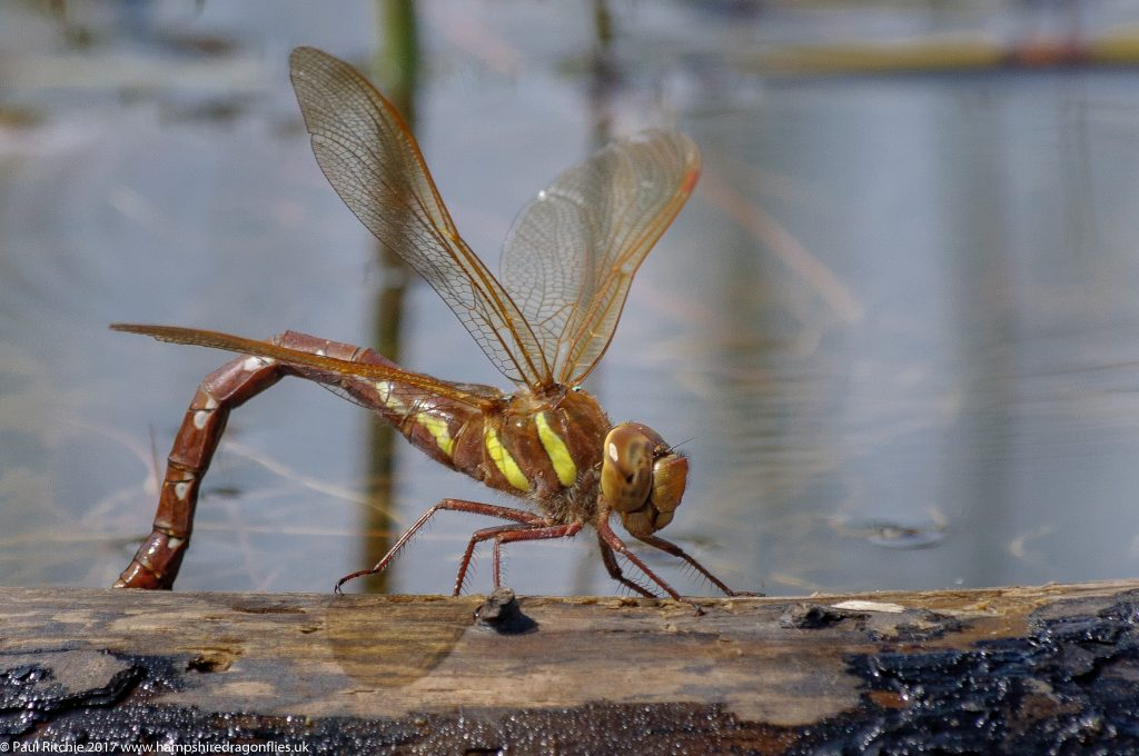 Brown Hawker (Aeshna grandis) - female ovipositing