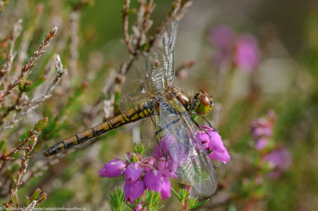Highland (Common Darter (Sympetrum striolatum nigrescens) - immature female