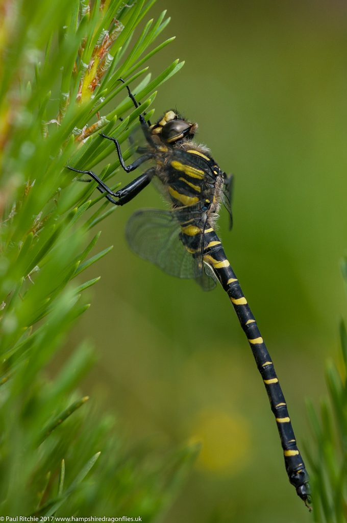 Golden Ringed Dragonfly (Cordulegaster boltonii) - immature male