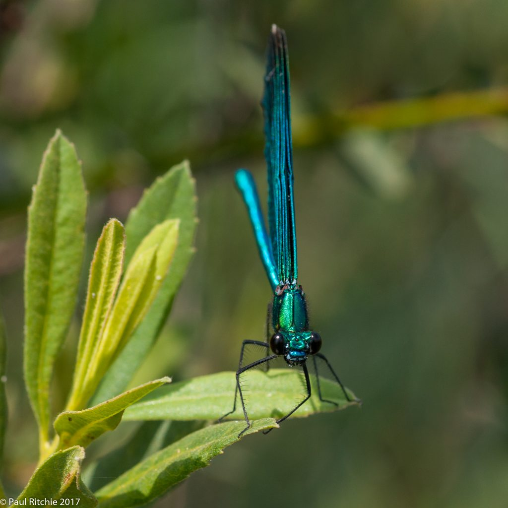 Beautiful Demoiselle (Calopteryx virgo) - male