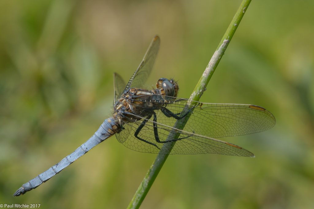 Keeled Skimmer(Orthetrum coerulescens) - male