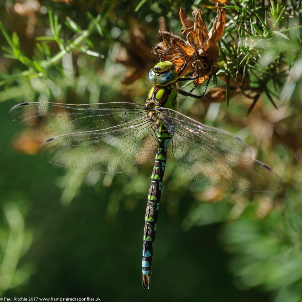 Southern Hawker (Aeshna cyanea) - male