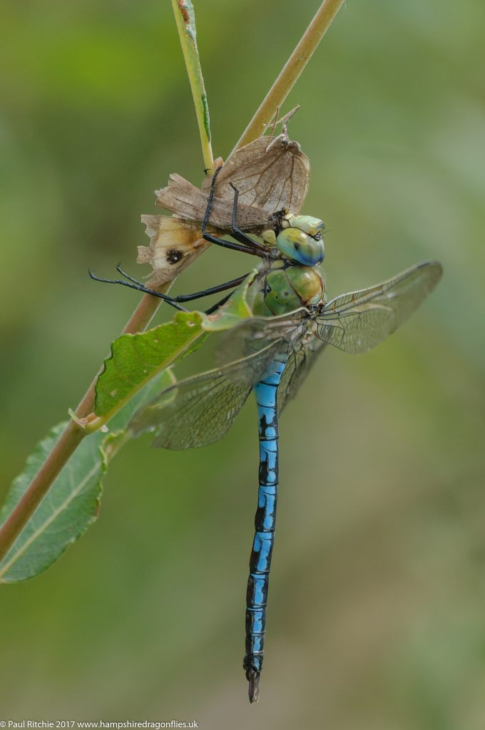 Emperor (Anax imperator) - male feeding on Meadow Brown