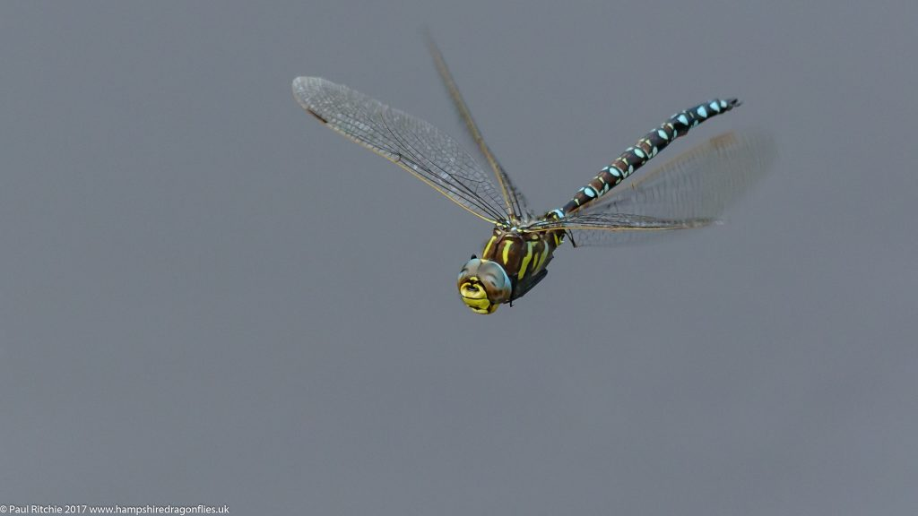 Moorland (Common) Hawker (Aeshna juncea) - male