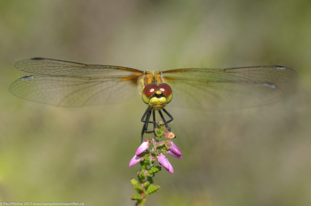 Black Darter (Sympetrum danae) - female