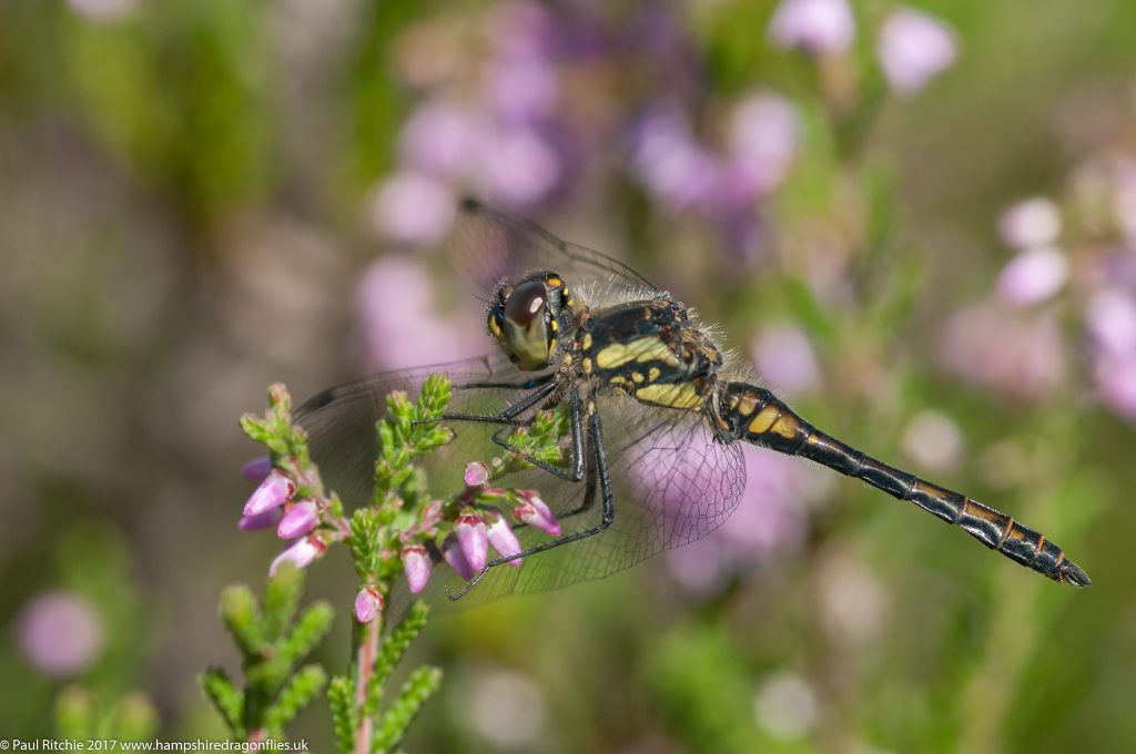 Black Darter (Sympetrum danae) - male