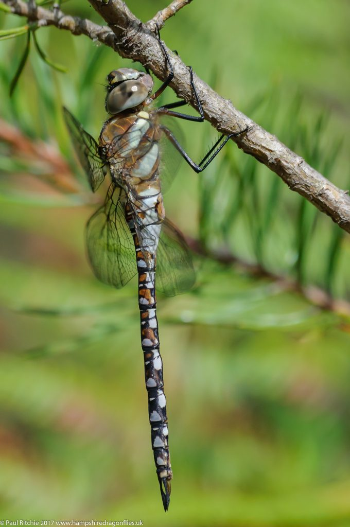 Migrant Hawker (Aeshna mixta) - immature male